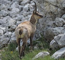 Rupicapra pyrenaica ornata - Parco Nazionale D'Abruzzo Lazio e Molise